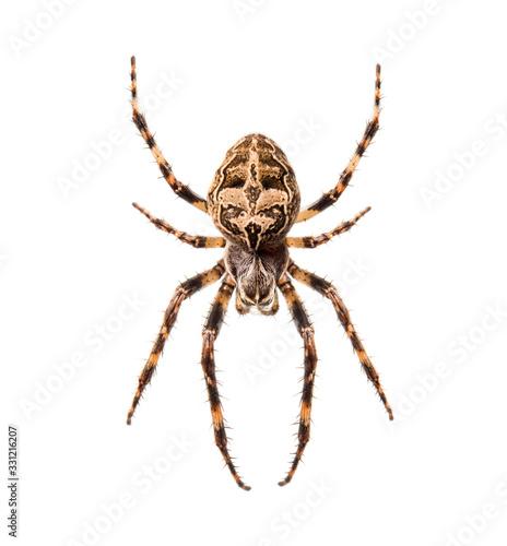 Photo Diadem spider on its web, Araneus diadematus, isolated
