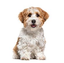 Sitting Puppy Havanese Dog Sta...