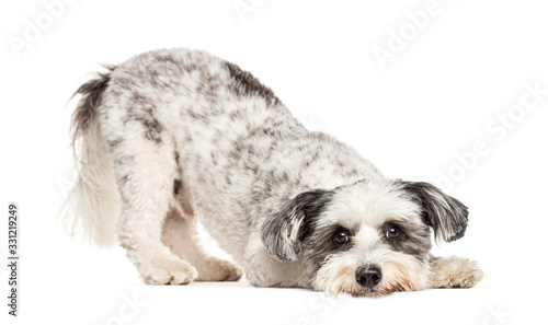 Crossbreed dog bowing and begging, isolated on white Canvas Print