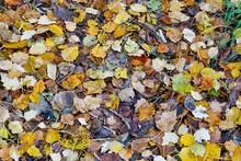 Autumn Leaves Background, Phot...