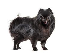 Sitting Black Pomeranian Dog P...