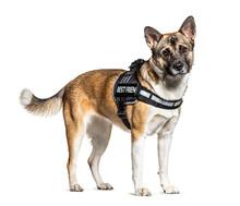 Crossbreed Dog With Akita And German Shepherd Wearing A Harness