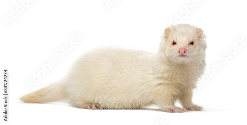 White Ferret looking at the camera, isolated on white Fototapet