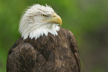 Bald Eagle Portrait (Haliaeetus Leucocephalus)