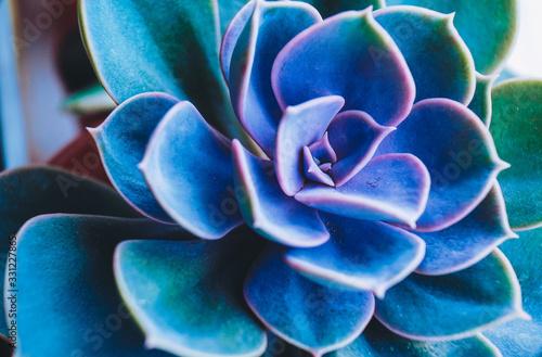 Fototapeta Amazing close up of rare succulent plant obraz