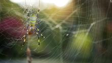 Joro Spider In Japan (Trichone...