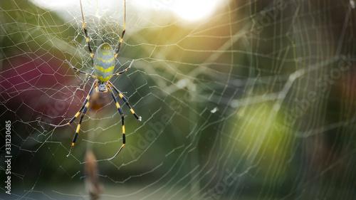 Joro spider in Japan (Trichonephila clavata) Canvas Print