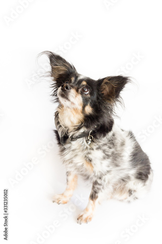 Small dog  with big ears focusing on something above Canvas Print