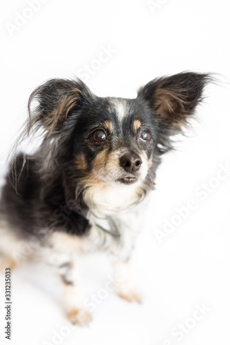 Small sad dog with big ears sitting and waiting Canvas Print