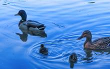 Couple Of Mallard Duck
