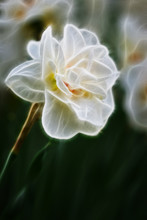 Fractal Image Of Tender Spring Daffodil With Double Petals