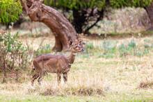 Beautiful Animal, Female Of Mountain Nyala In Natural Habitat. Endemic Antelope, Bale Mountains Ethiopia, Safari Wildlife