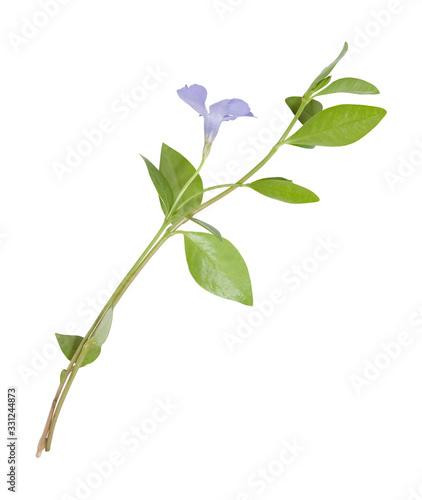 Fotografia blue flowers periwinkle on white background