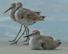Willets On The Beach At Don Pe...