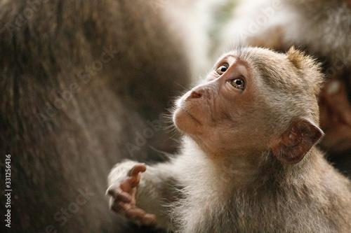 Photo Monkey looks up. Sacred Monkey Forest, Ubud, Indonesia