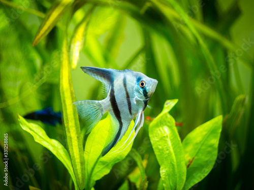 portrait of a zebra Angelfish in tank fish with blurred background (Pterophyllum Wallpaper Mural