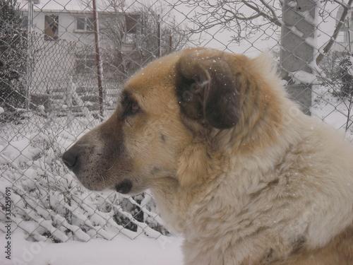 Obraz Kangal big guard dog  - fototapety do salonu