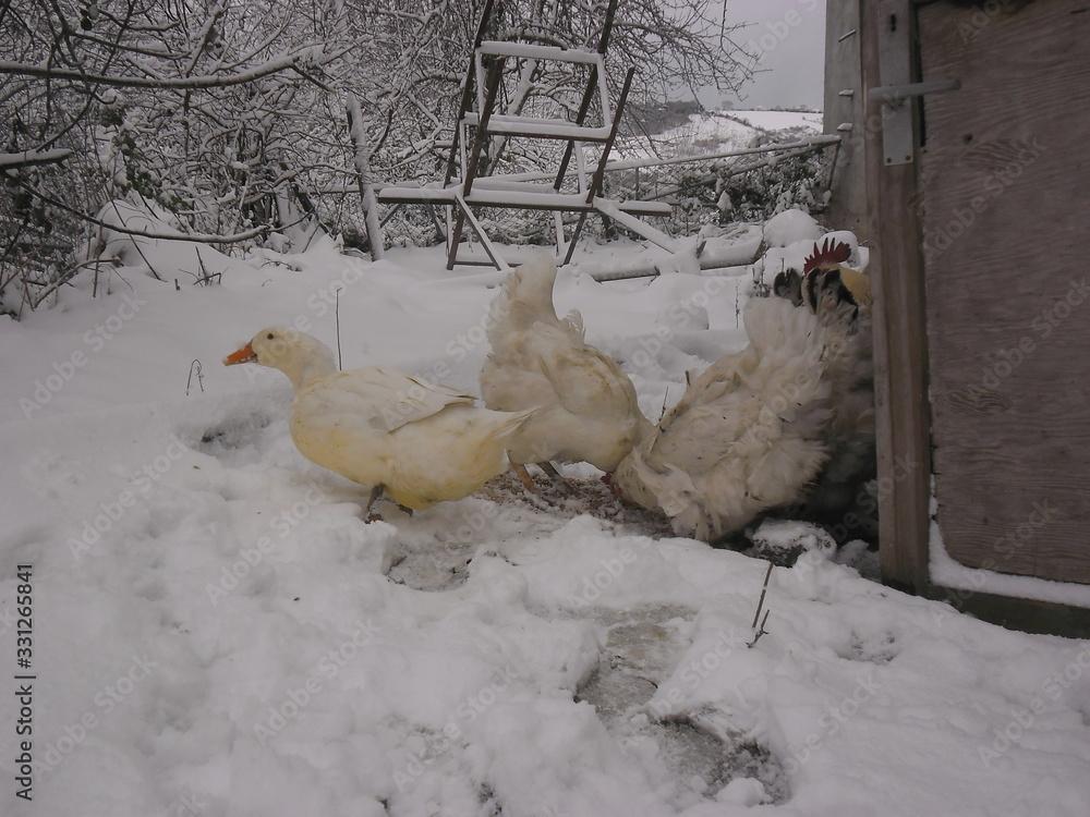 Fototapeta white duck outdoors