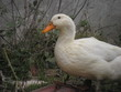 white duck outdoors
