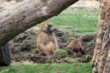 Guinea Baboon (Papio Hamadryas...