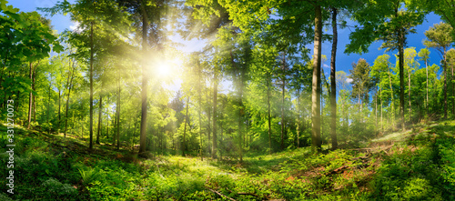 Fototapeta Scenic forest of deciduous trees, with blue sky and the bright sun illuminating the vibrant green foliage, panoramic view  obraz