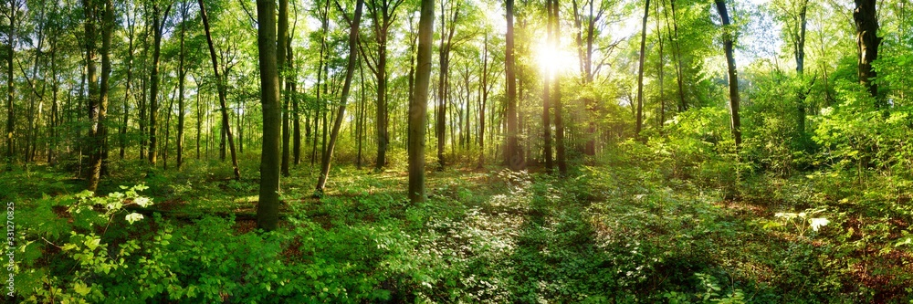 Fototapeta Panorama of a wild forest in summer with bright sun shining through the trees