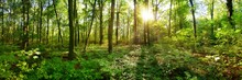 Panorama Of A Wild Forest In Summer With Bright Sun Shining Through The Trees