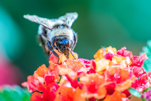 Bumble Bee On Brightly Coloured, Red & Orange Flower