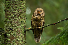 Wise Tawny Owl, Strix Aluco, Looking Up In Summer Forest And Sitting On Bough. Alert Wild Bird Of Prey With Brown Feathers In Woodland On Tree With Moss.
