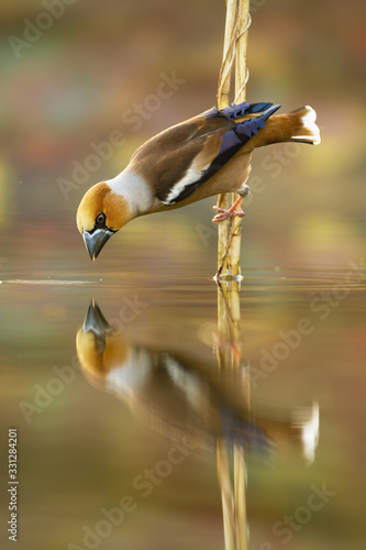 Photo Male hawfinch, coccothraustes coccothraustes, bending down over water surface and drawing beak to drink water