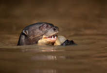 Close Up Of A Giant Otter Eati...