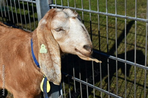 Photo Close up of an Anglo Nubian goat head in profile