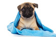 Pug puppy covered by blue towel, isolated on white background