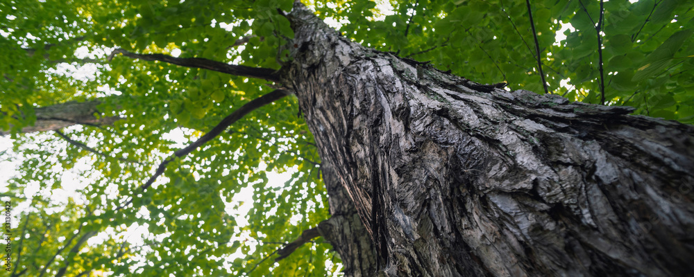 Fototapeta large trees in a forest with lush green foliage, view from below