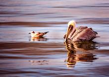 Pelican And Duck1