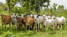 Herd Of Zebu Cattle At Old Oyo National Park In Nigeria.