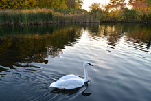 Wildlife Swan Swimming In The ...