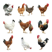 Collage With Chickens And Roosters On White Background
