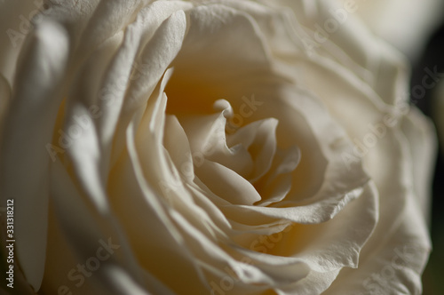 rose bianche Canvas Print