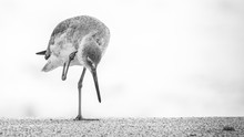 Willet Standing At Shore