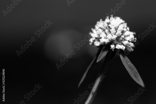 Small wild flowers from backyard in black and white. Artsy. Canvas Print