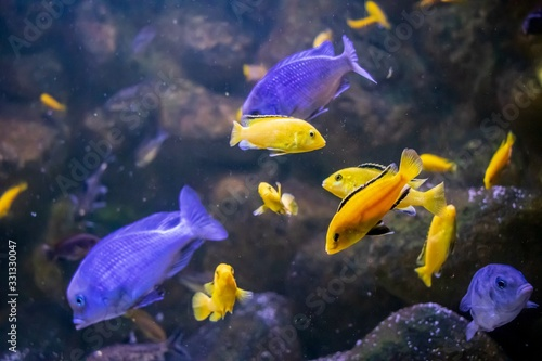 Yellow and purple cute fishes swimming in the aquarium Wallpaper Mural