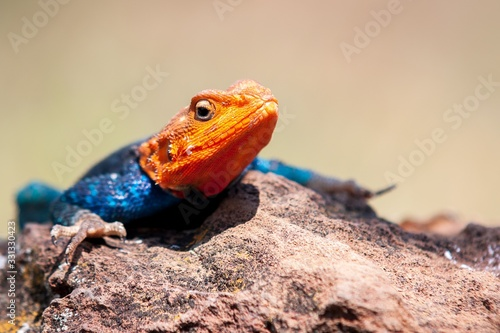 Shallow focus shot of an agama lizard resting on the rock with a blurred backgro Canvas Print