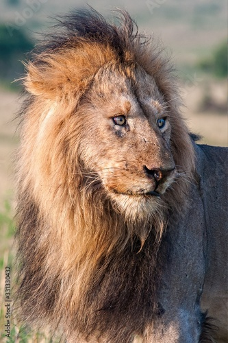 Vertical shot of a male lion on the field with a blurred background Wallpaper Mural