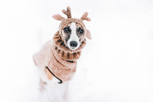 Cute Cheerful Whippet Puppy We...