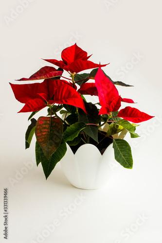 Fototapeta Red color, fresh poinsettia flower in white flowerpot with empty frame obraz na płótnie