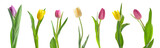 Fototapeta Tulips - Beautiful tulip flowers on white background