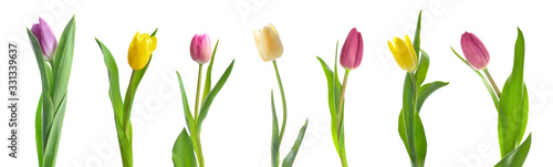 Beautiful tulip flowers on white background Canvas Print
