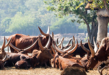 Close Up Group Of Ankole Watus...