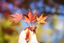 Woman Hand Holding A Autumn Le...